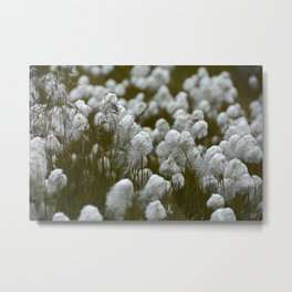 Close up of wild cotton in the field Metal Print