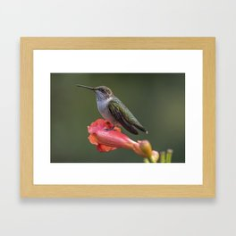 Humming bird resting on a flower Framed Art Print