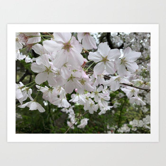 Spring - Sacura Blossom Art Print By Agnessalifits