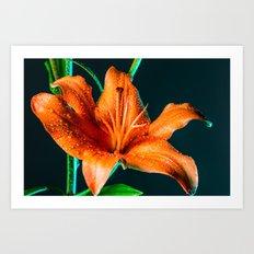 Lily Flower Dew Art Print