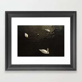Swans swimming in river Severn Framed Art Print