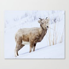 Big Horn Sheep in the Snow Canvas Print