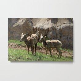 Wild Bighorn Sheeps Metal Print