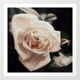 Velvet Cream Rose Art Print