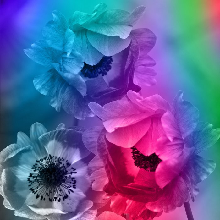 Colourful Anemone flowers on an abstract background Comforters