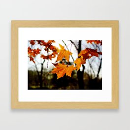 maple leaves with autumn red Framed Art Print