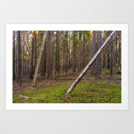 Dawn in a dry coniferous forest Art Print