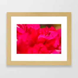 Pink bougainvilleas Framed Art Print