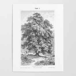 Linden Tree Print from 1800's Encyclopedia Poster