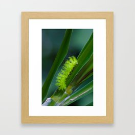 IO moth caterpillar Framed Art Print