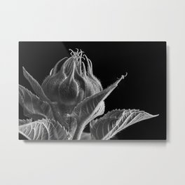 A Sunflower bud is about to open and a Crab Spider waits on the end of a leaf. Metal Print