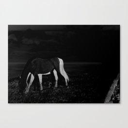 stallion_2 Canvas Print