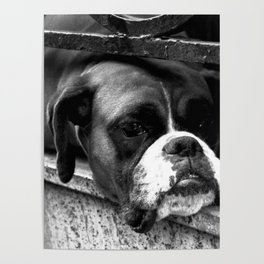 Boxer Dog On Windowsill Poster