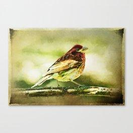 Purple Finch Strutting on Branch Bird Canvas Print