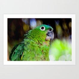 blue naped parrot head Art Print