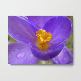 crocus bloom macro IV Metal Print