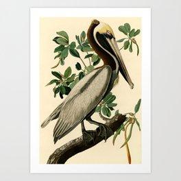 Brown Pelican (Pelecanus occidentalis) Scientific Illustration Art Print