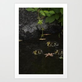 Mallard Duckings Art Print