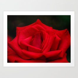 Timeless red rose blooming in the garden Art Print