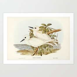 White Tern (Gygis candida) illustrated by Elizabeth Gould (1804–1841) for John Gould's (1804-1881) B Art Print