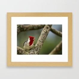 Red Crested Cardinal Framed Art Print