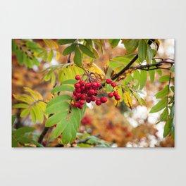 Red rowan-berry Canvas Print