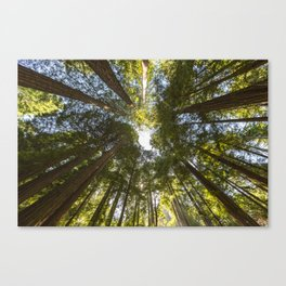Redwood Forest Treetops Canvas Print