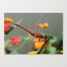 Red Skimmer or Firecracker Dragonfly With Lantana Background Canvas Print