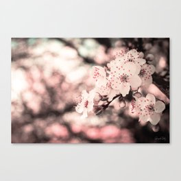 Sweet Spring (White Cherry Blossom) Canvas Print
