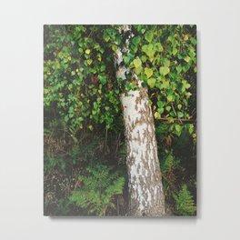 Silver Birch tree (Betula pendula). Norfolk, UK. Metal Print