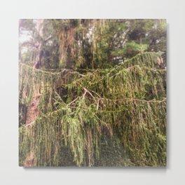 Woolly Spruce Metal Print