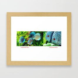 Turquoise Blue Discus Fish Framed Art Print