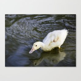 Baby Duckling swimming  Canvas Print