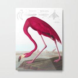 American Flamingo John James Audubon Vintage Scientific Hand Drawn Illustration Birds Metal Print