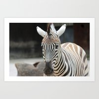 Knoxville Zebra Art Print