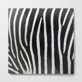 Zebra animal print textured background. Abstract animal print with high resolution scan showing all the detail Metal Print