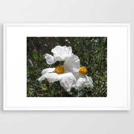 Matilija Poppy Framed Art Print