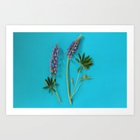 Broadleaf Lupine Art Print