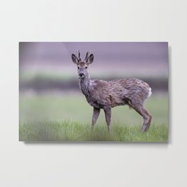 ROE DEER IN SPRING Metal Print