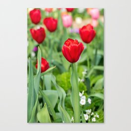Red tulips in a field of colourful tulips Canvas Print