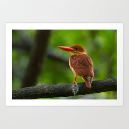 Ruddy Kingfisher Art Print