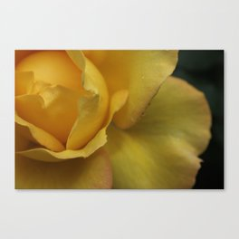 Yellow rose after the rain. Canvas Print