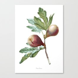 HIGHEST QUALITY botanical poster of Fig Canvas Print