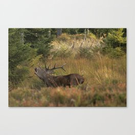 Red deer, rutting season Canvas Print