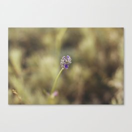 Pure Lavender Canvas Print