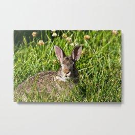 Young Cottontail Rabbit Metal Print