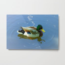 Ducks swimming Metal Print
