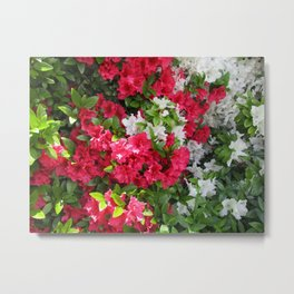 Pink & white Rhododendrons Metal Print