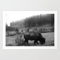 Black and White Buffalo Art Print