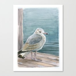 Study of a Juvenile Ring-billed Gull Canvas Print